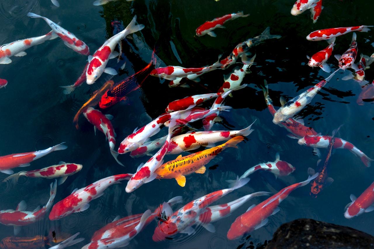 school-of-koi-fish-2131828-1